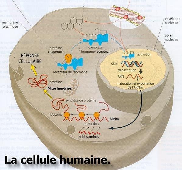 Cellule Humaine cellule humaine (détail )